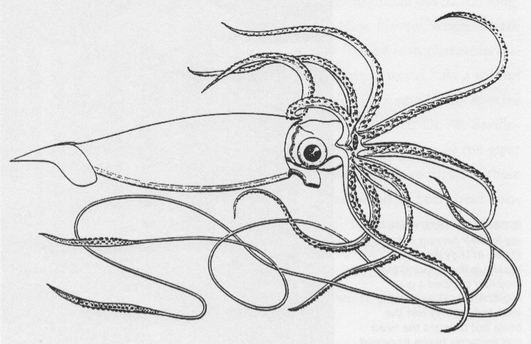 giant squid coloring pages - photo#4