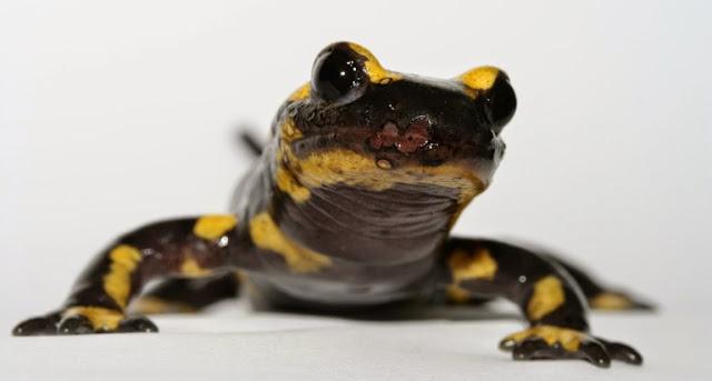 Salamandra de fuego, cordados y biologia