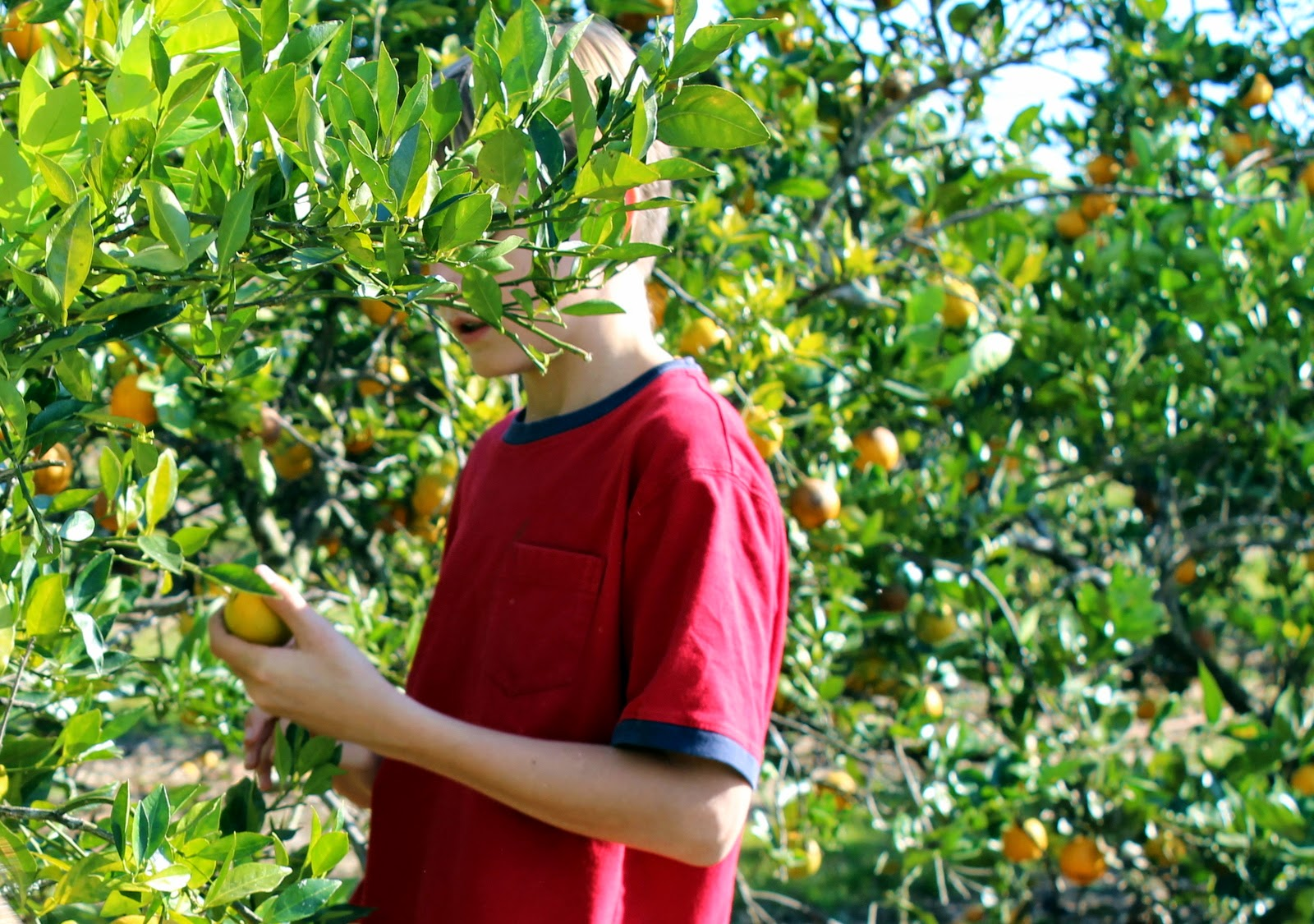 Orange picking in Southwest Florida