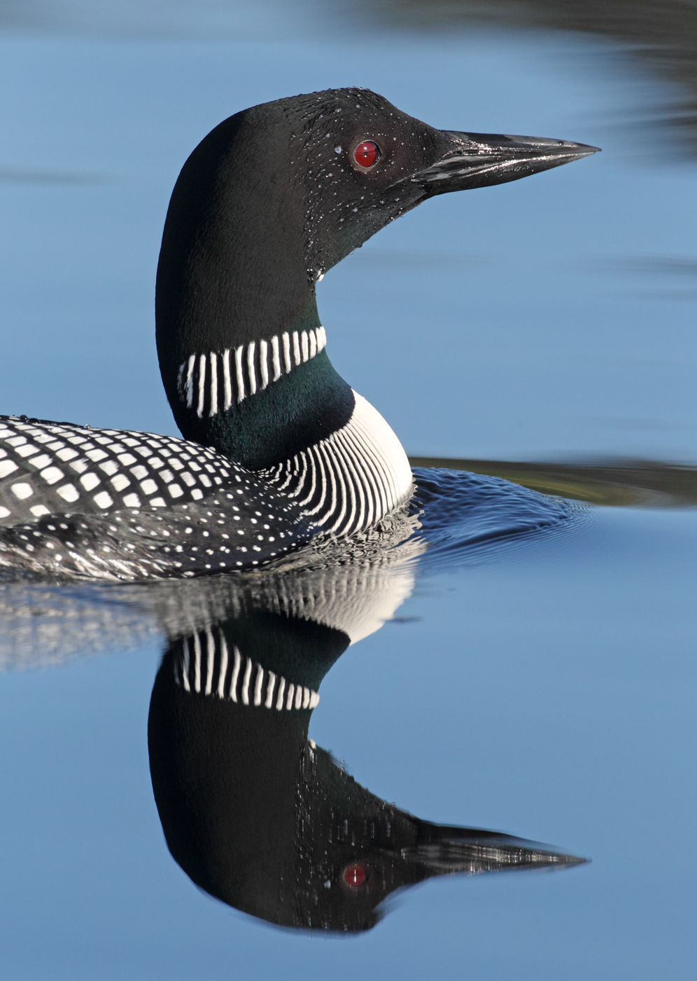 Loons birds