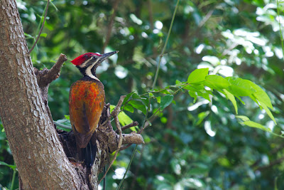 The Hybrid Black-rumped Flameback - Anuradhapura, Sri Lanka