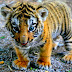 Baby Tiger images wallpapers