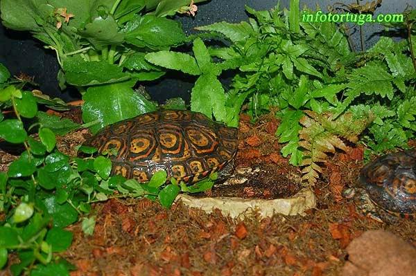 Rhinoclemmys pulcherrima manni en el terrario