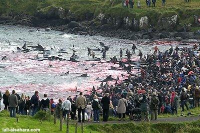 el cuarto hocico matanza de delfines en dinamarca la