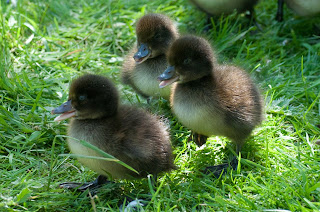 Cute Ducklings Innocent