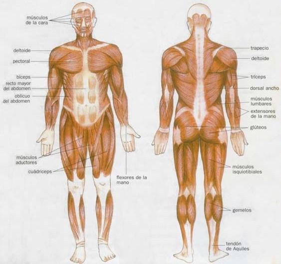 Ilustración del Sistema Muscular del Cuerpo Humano