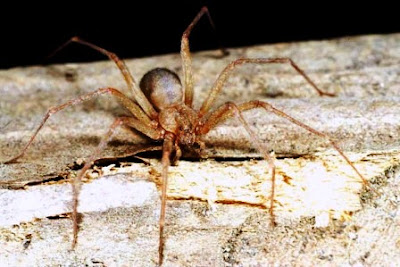 fotos Loxosceles Laeta argentina arañas venenosas