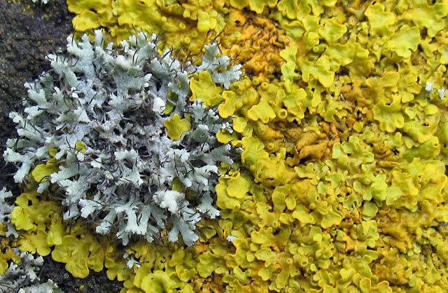 Xanthoria species with another lichen on a wall in Hayes