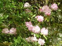 彩を添えた石楠花