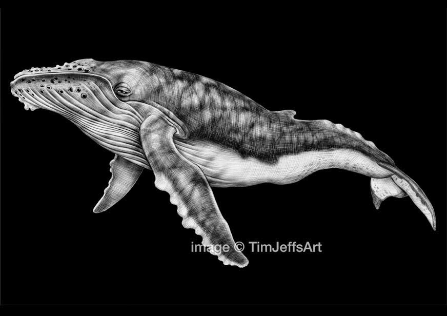 11-Humpback-Whale-Tim-Jeffs-All-Creatures-Great-and-Small-Ink-Drawings-www-designstack-co