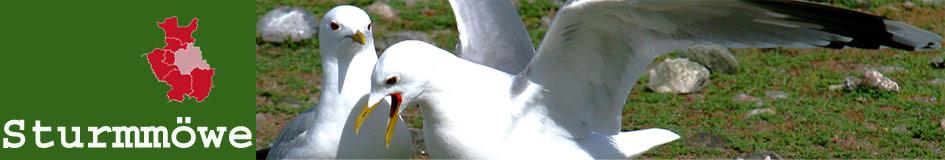 Sturmmöwe - Vogelbeobachtung in Ostwestfalen