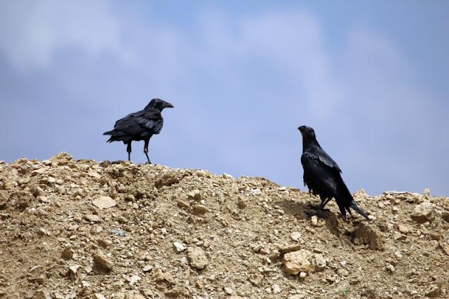 Corvus rhipidurus