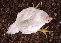 Gejala penyakit marek pada ayam dan pencegahannya