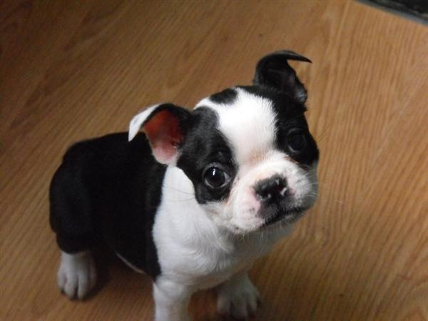 Cute Boston Terrier Puppy HD wallpaper
