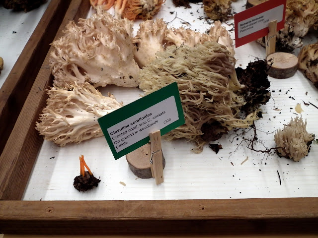 Clavulina Coralloides - edible mushrooms