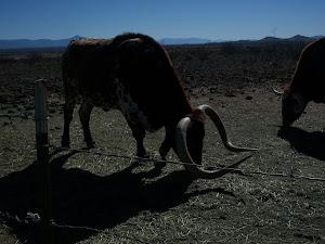 Longhorn Beast