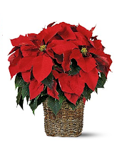 poinsettia-bloomex