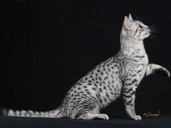 The Egyptian Mau is a loving
