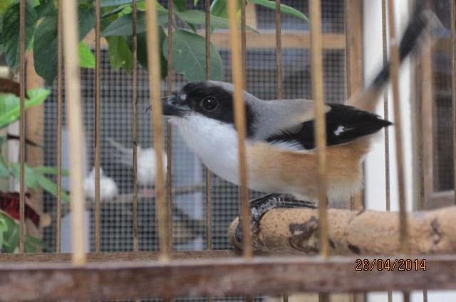 Budidaya Burung DIJUAL BURUNG PENTET JATENG RAJIN DAN