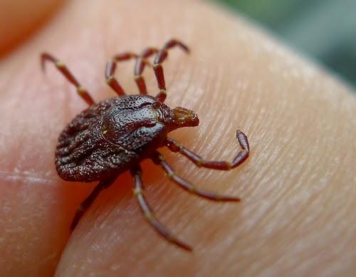 Ditemukan Virus Baru Mematikan yang Dibawa Oleh Kutu