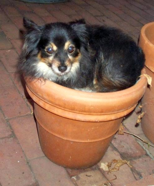 Mitzi curled up in a terracotta flower pot
