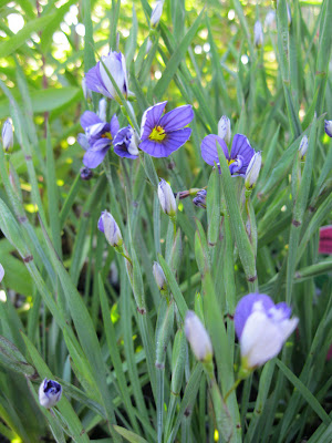 Lucerne blue-eyed grass