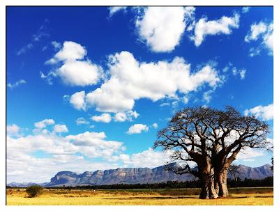 Baobab tree, Hoedspruit, Warwick Anderson