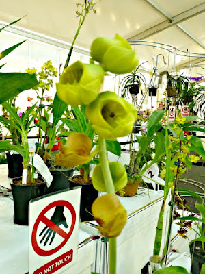 round-petal-orchids