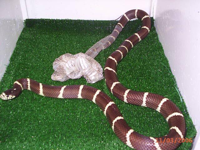 Muda de piel en una serpiente