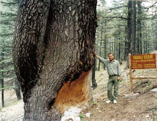 Sedir Ağacı Yağı
