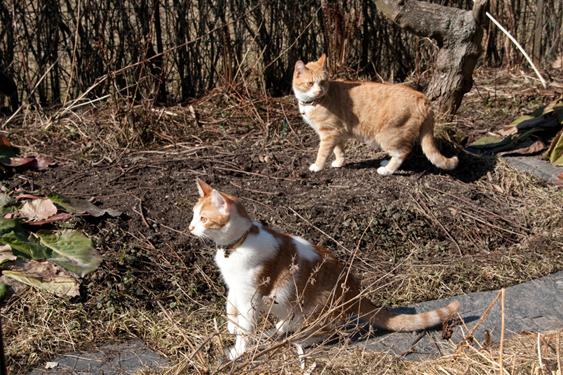 Kaksi kissaa ulkona