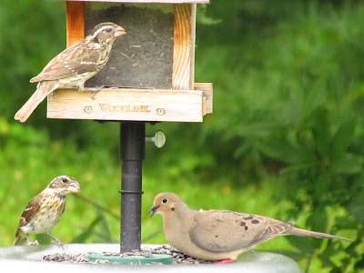 female rosebreasted grosbeaks with mourning dove