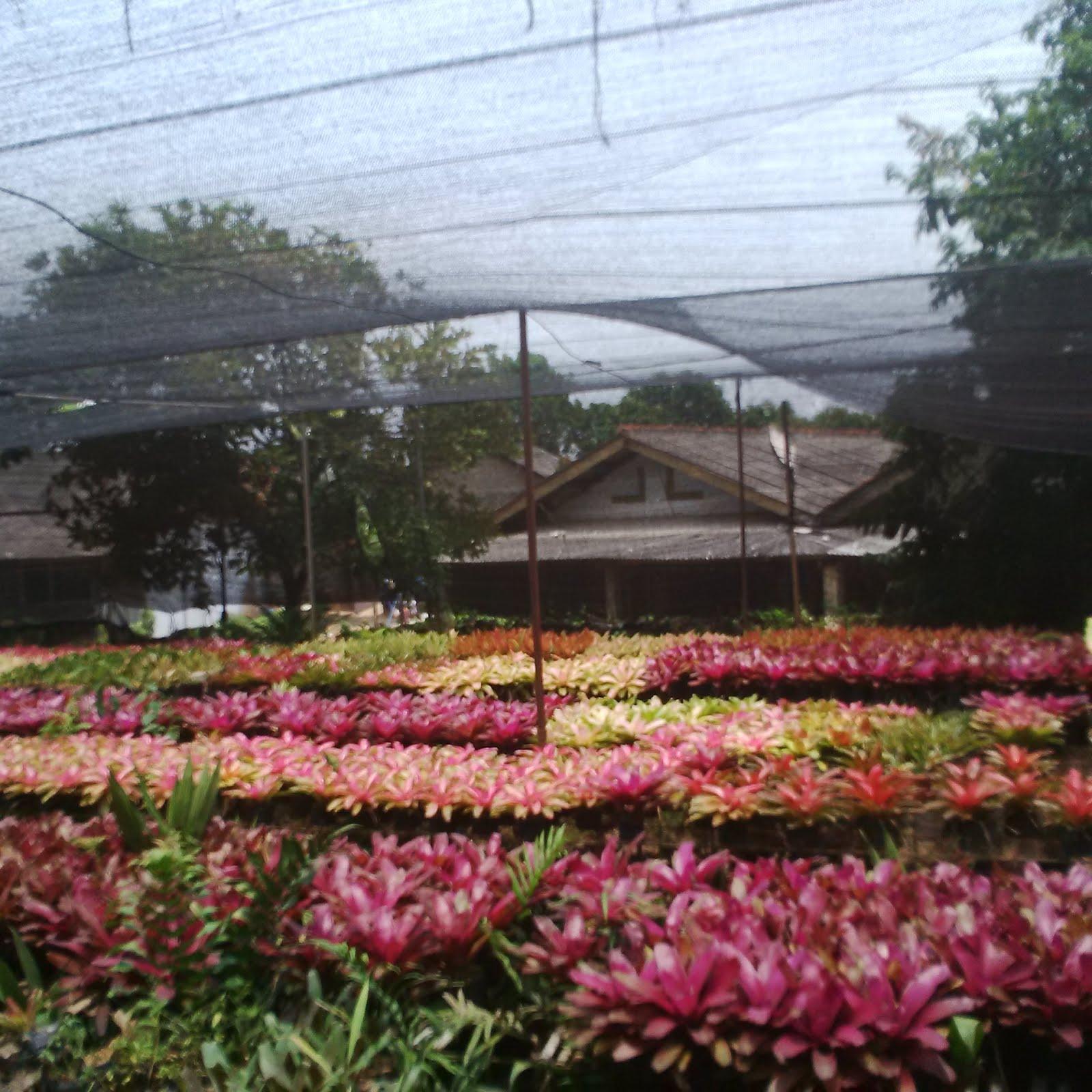 Budidaya Bromelia