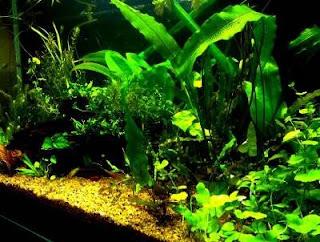 menanam di akuarium
