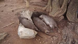 Nigerian Bush Meat