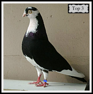 Dragoon Pigeon