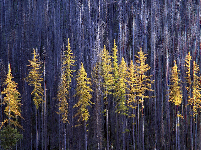 Autumn Larch Trees, Colville National Forest Wallpaper