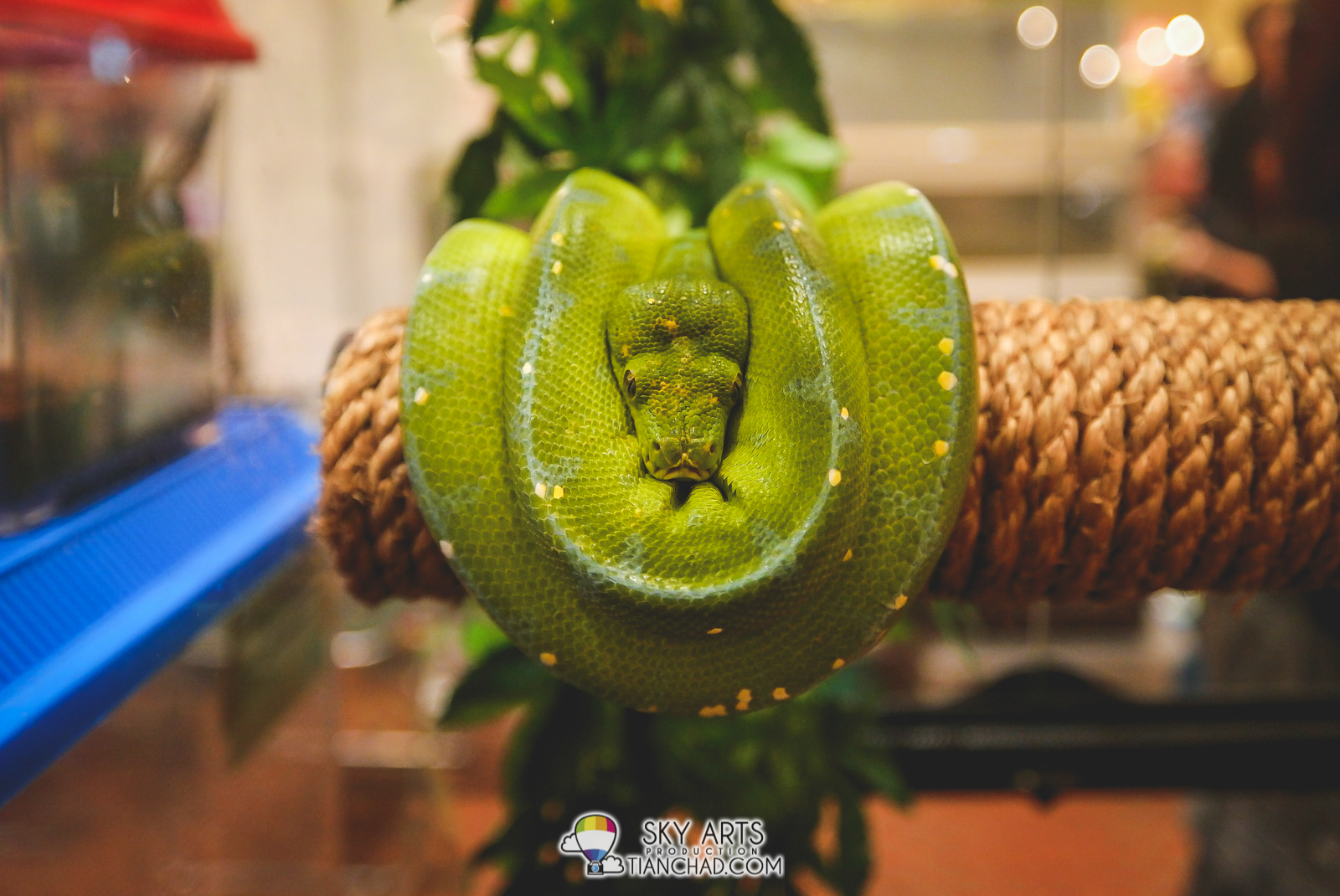 Green Snake very well rolled up