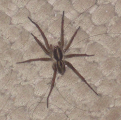 Huge spider in my bedroom (RIP)