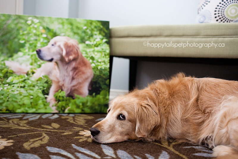 Pet golden retriever Chloe is not impressed with professional canvas products