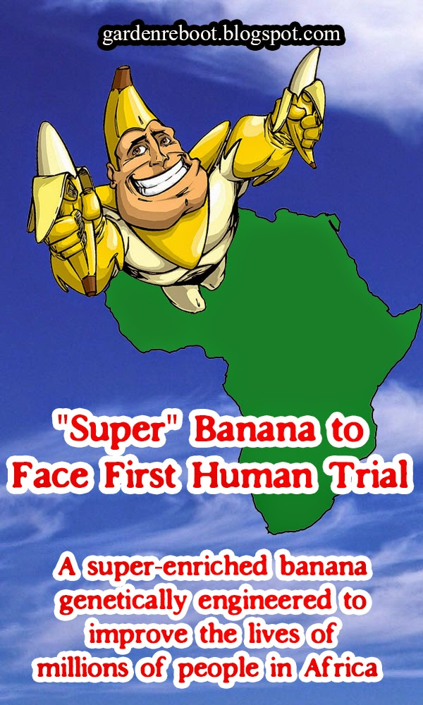 """Super"" banana to face first human trial"