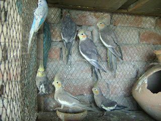 Cocktail Parrots For Sale In Lahore