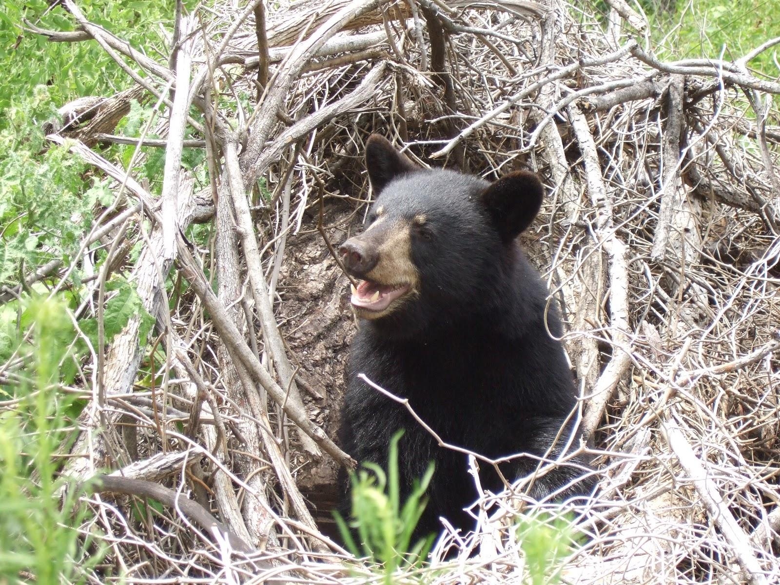 "IEAS News: The Truth About Bears: ""Hibernation"""