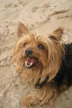 Yorkshire Terrier House Dog Out Of Sorts Uk