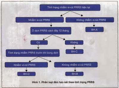 Phân loại đàn heo nái theo tình trạng PRRS.