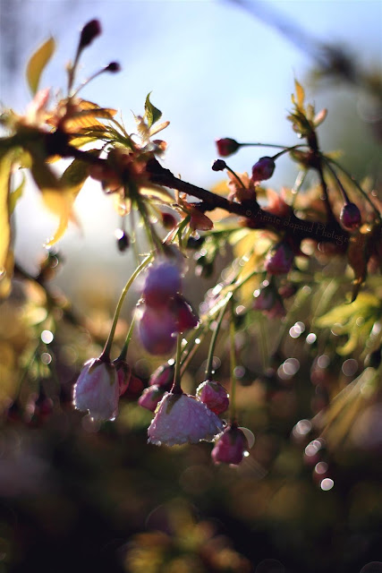 cherry blossoms and raindrops, bokeh background