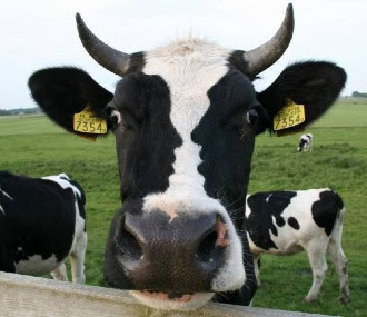 Funny Cow Face Illusion