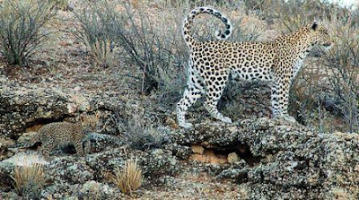 African-Leopard-With-Cub