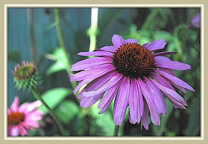 Purple Pink Cone Flowers