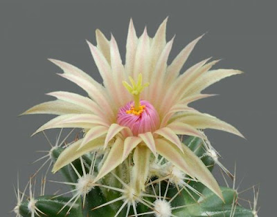 Wallpapers Cactus Flower 2 (bunga kaktus)